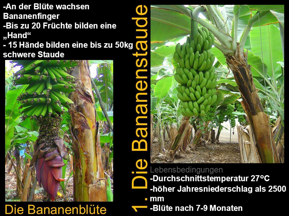 1. Die Bananenstaude Die Bananenblüte