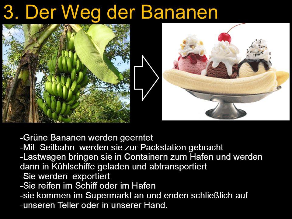 3. Der Weg der Bananen -Grüne Bananen werden geerntet