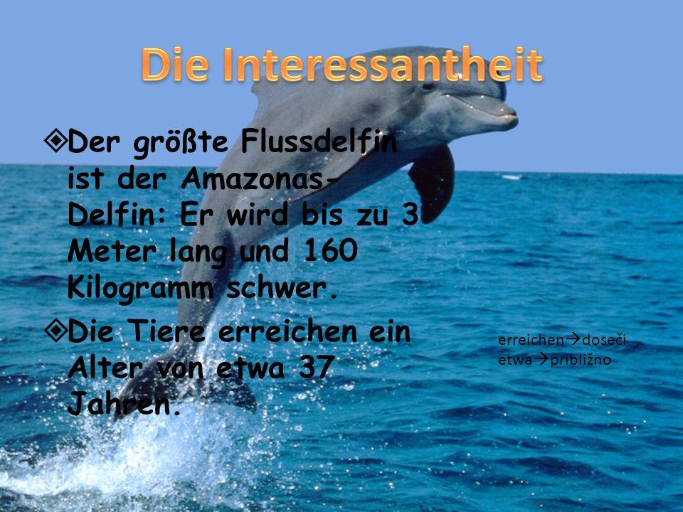Die InteressantheitDer größte Flussdelfin ist der Amazonas-Delfin: Er wird bis zu 3 Meter lang und 160 Kilogramm schwer.