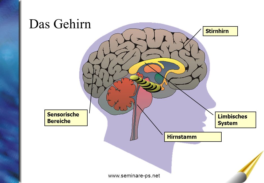 Das Gehirn Stirnhirn Sensorische Bereiche Limbisches System Hirnstamm