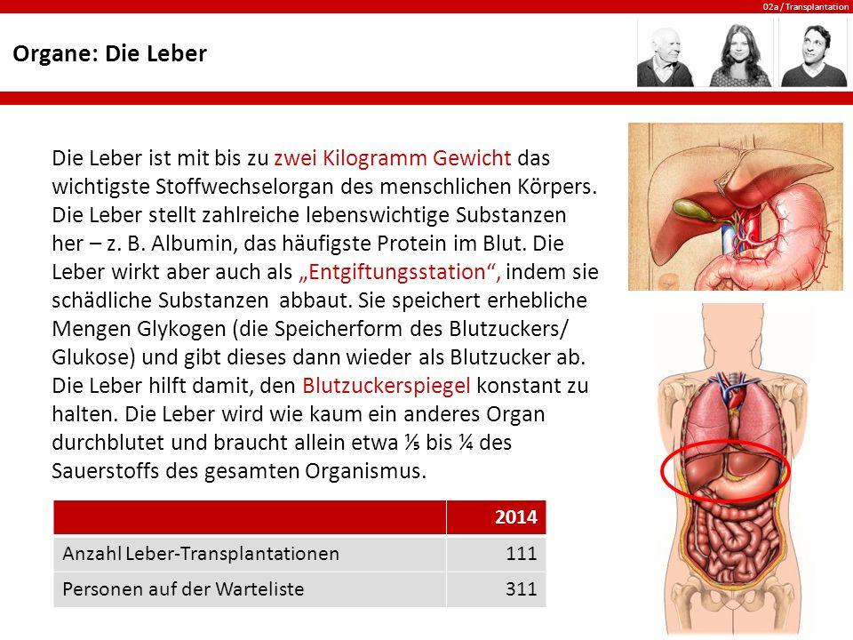 Organe: Die Leber