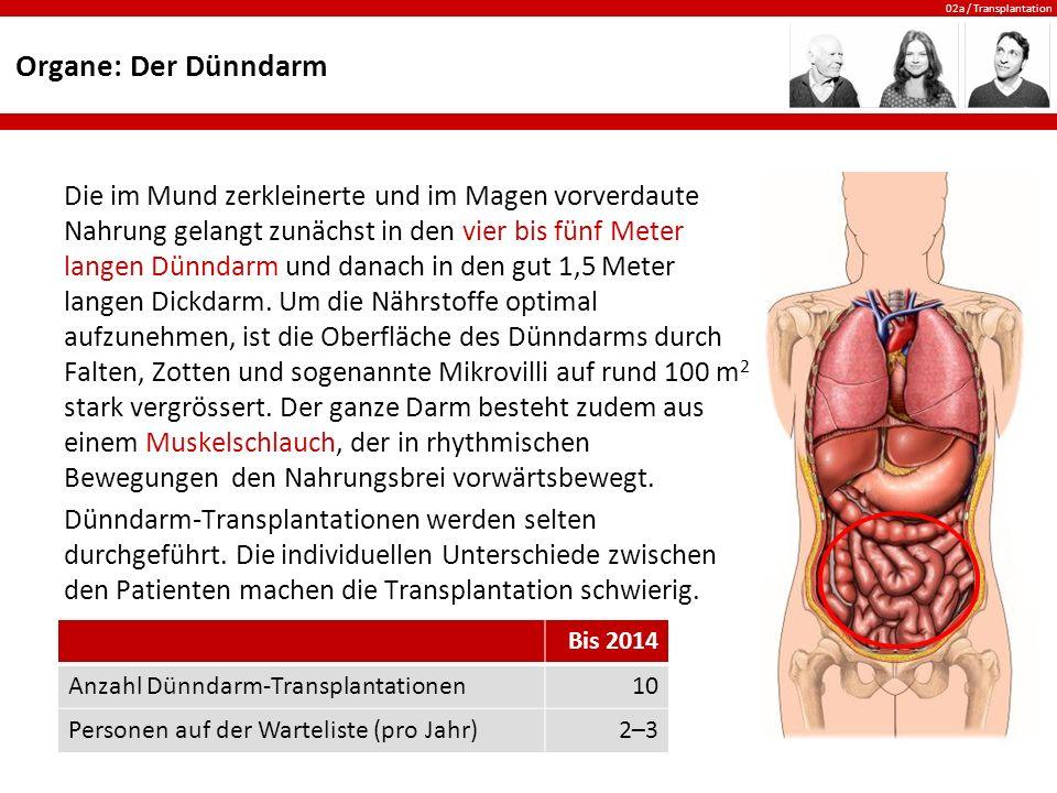Organe: Der Dünndarm