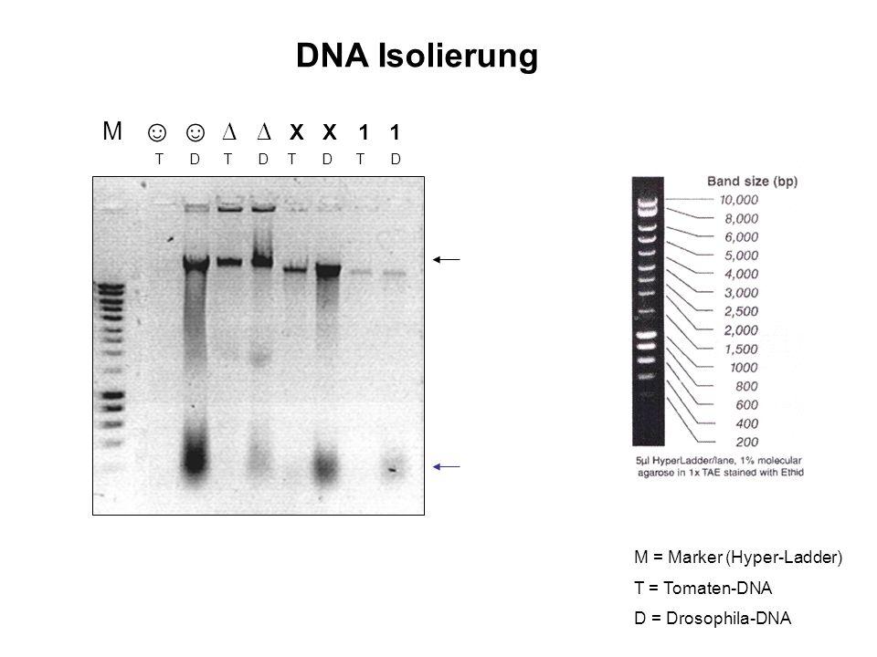 DNA Isolierung M ☺ ☺ ∆ ∆ X X 1 1 M = Marker (Hyper-Ladder)