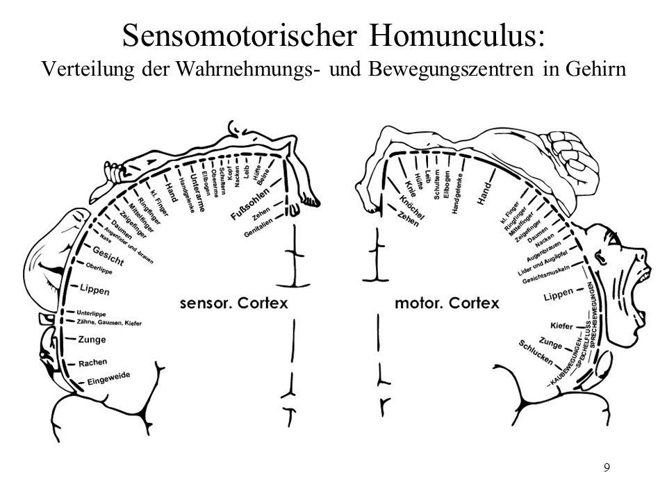 Sensomotorischer Homunculus: Verteilung der Wahrnehmungs- und Bewegungszentren in Gehirn