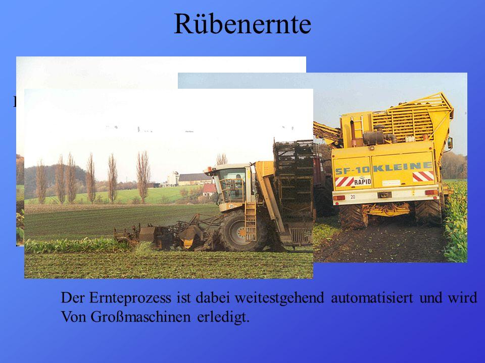 """Rübenernte Die Ernte ( = """"Kampagne ) beginnt meist Mitte September"""