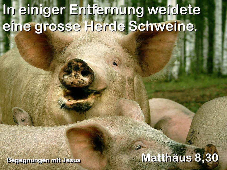 In einiger Entfernung weidete eine grosse Herde Schweine.