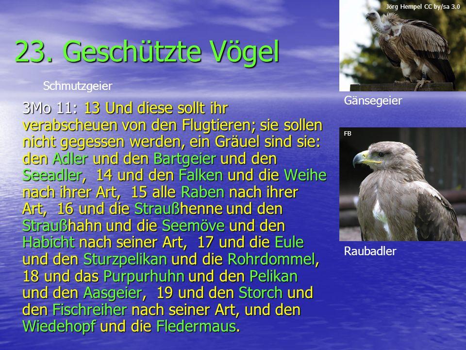 Jörg Hempel CC by/sa 3.0 23. Geschützte Vögel. Schmutzgeier. Gänsegeier.