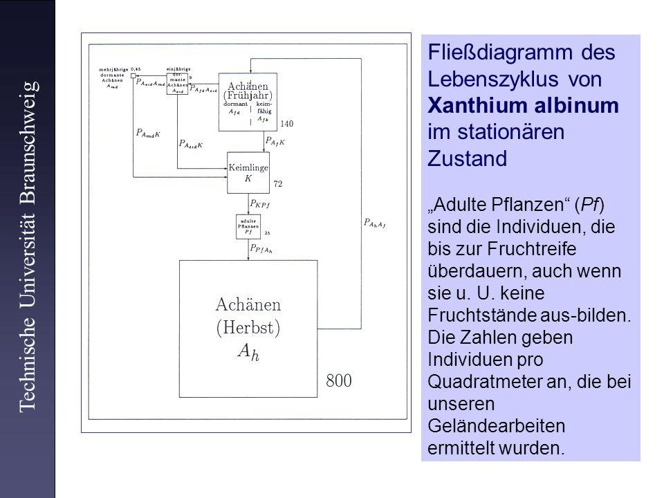 Xanthium albinum im stationären Zustand