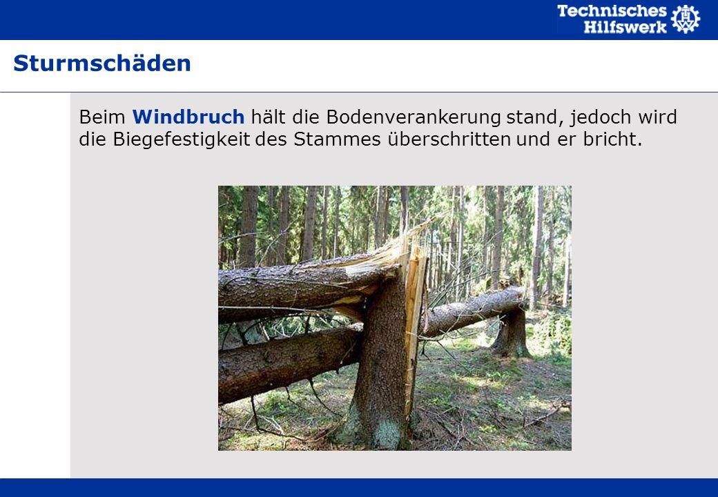 Sturmschäden Beim Windbruch hält die Bodenverankerung stand, jedoch wird die Biegefestigkeit des Stammes überschritten und er bricht.