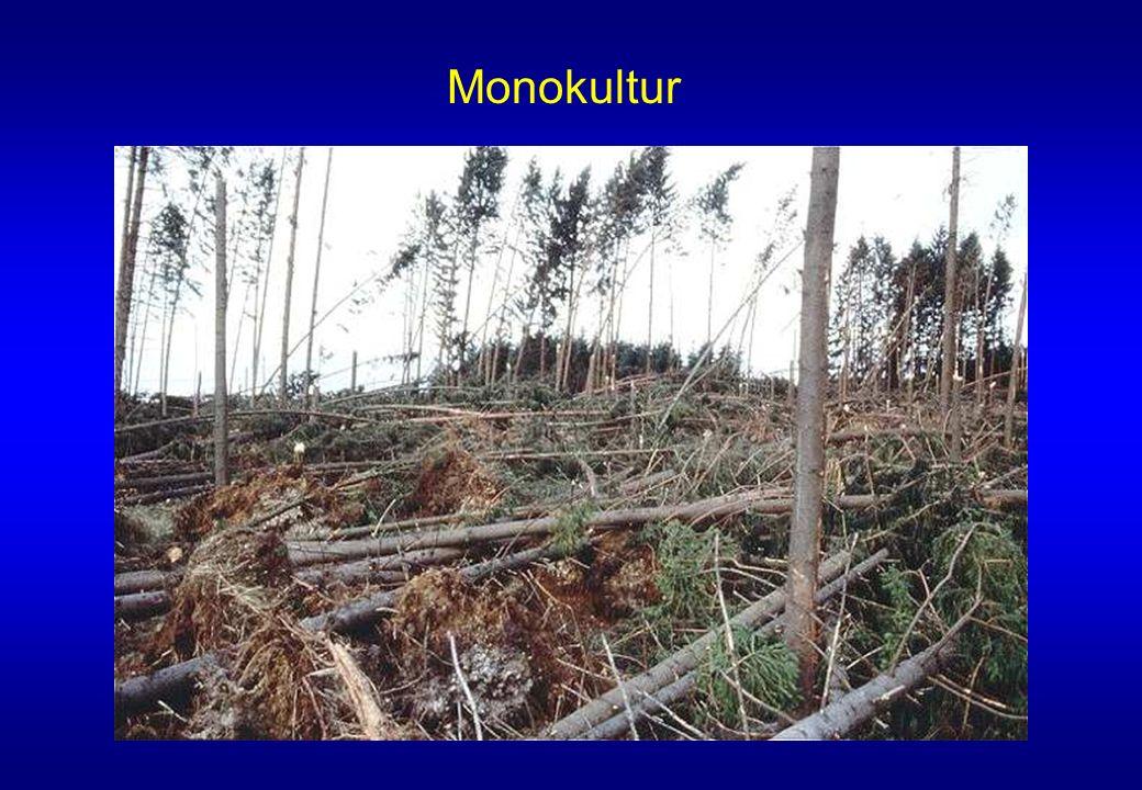 Monokultur Fichten- Monokulturen können bei starkem Sturm umfallen wie Zündhölzer.