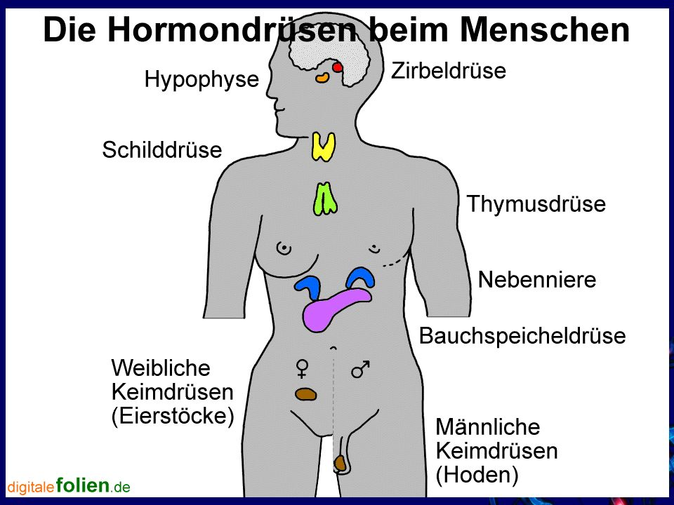 Ziemlich Wo Ist Der Bauchspeicheldrüse Auf Den Menschlichen Körper ...