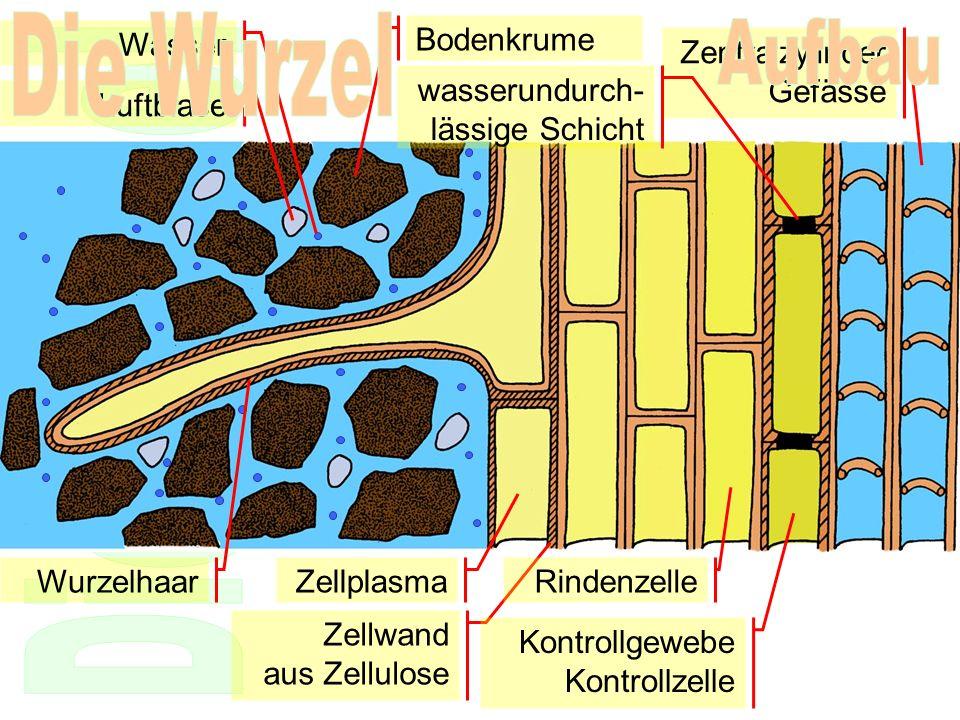 Die Wurzel Aufbau Wasser Bodenkrume Zentralzylinder Gefässe