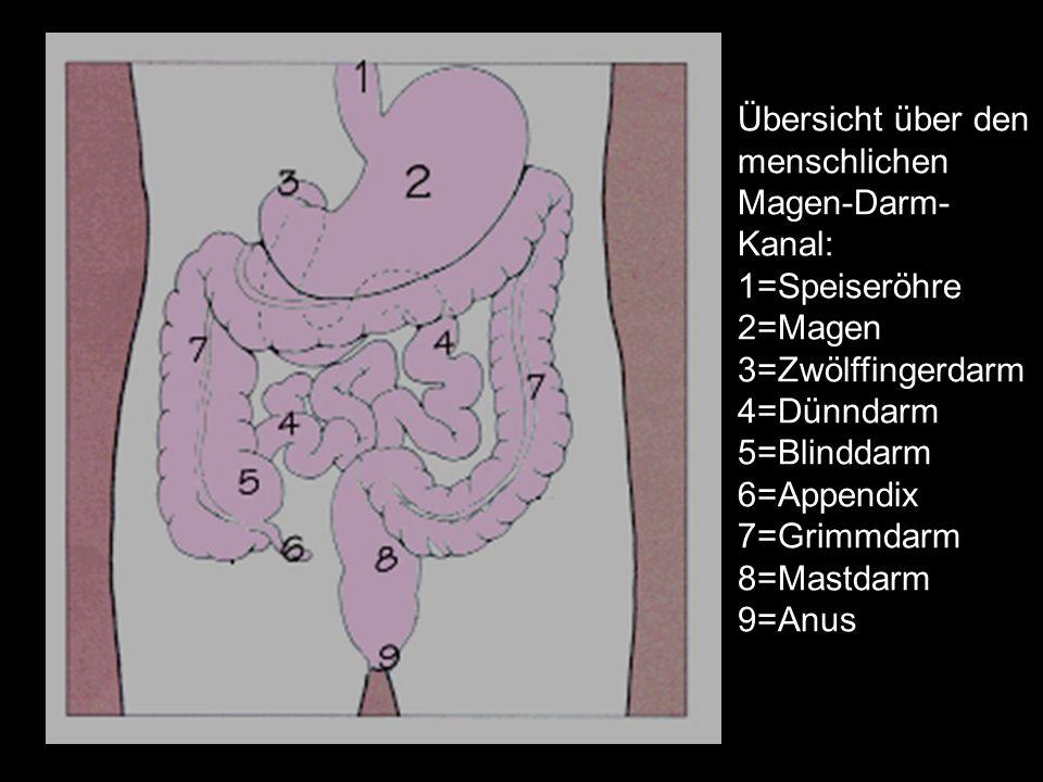 Übersicht über den menschlichen Magen-Darm-Kanal: 1=Speiseröhre 2=Magen 3=Zwölffingerdarm