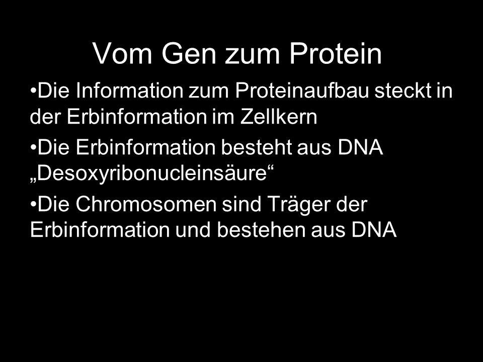Vom Gen zum Protein Die Information zum Proteinaufbau steckt in der Erbinformation im Zellkern.