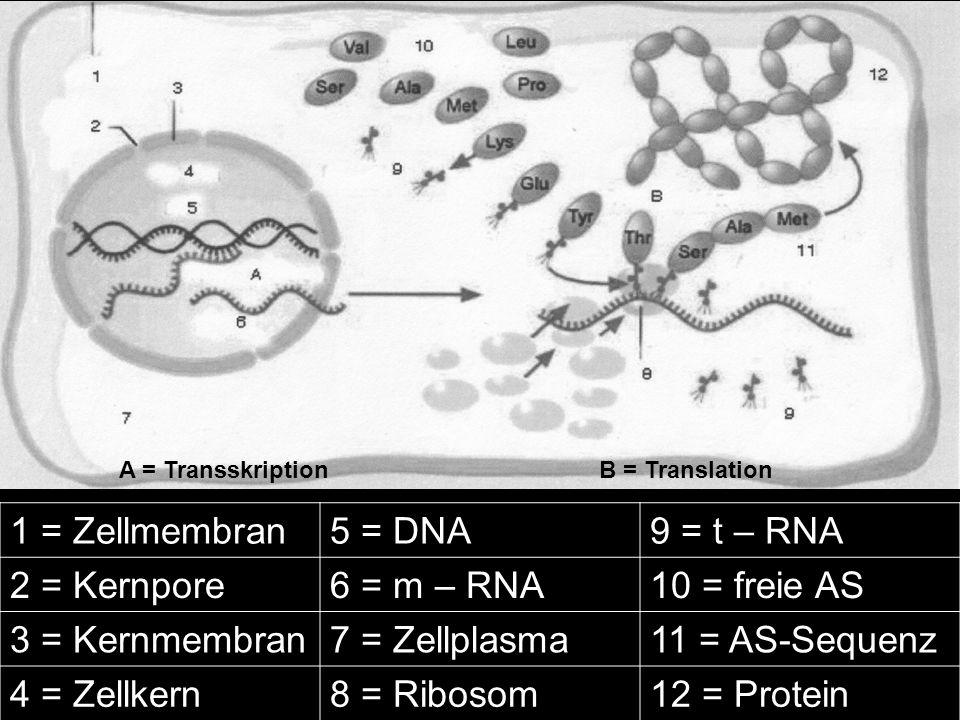 A = Transskription B = Translation