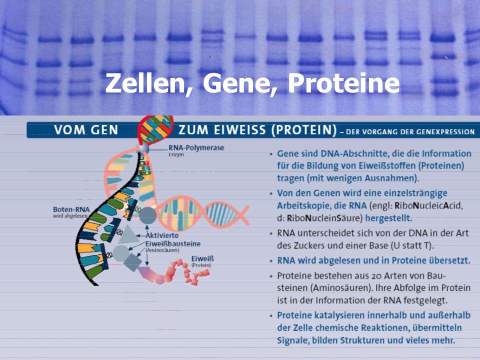 Zellen, Gene, Proteine 01.08.2005, © Peer Millauer 4