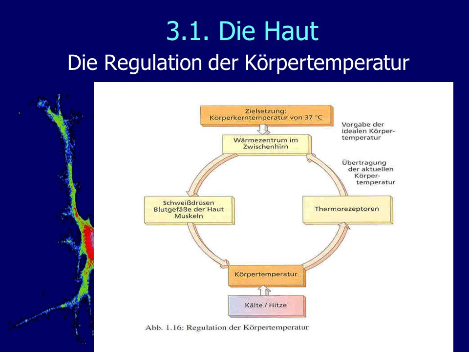 Die Regulation der Körpertemperatur