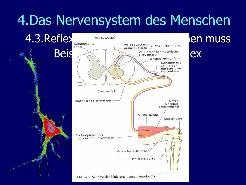 Gemütlich Diagramm Des Nervensystems Des Menschlichen Körpers Ideen ...