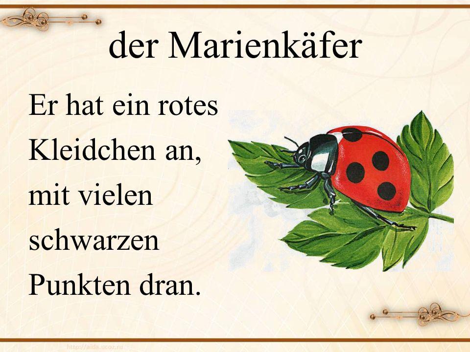 der Marienkäfer Er hat ein rotes Kleidchen an, mit vielen schwarzen