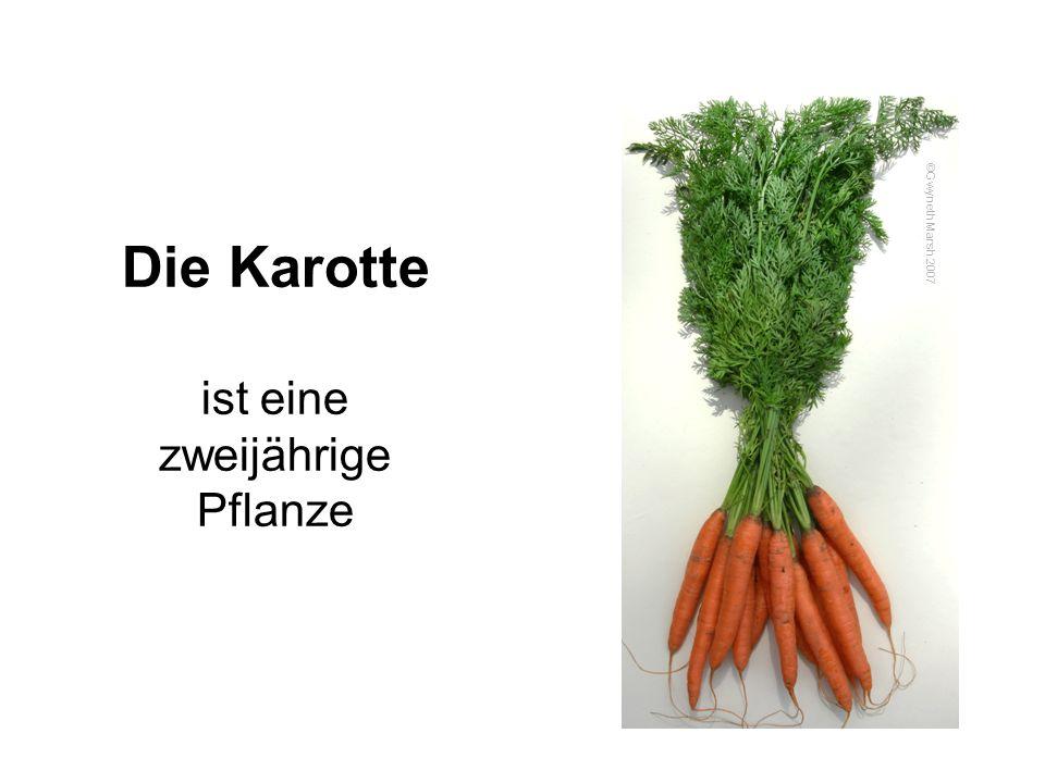 Die Karotte ist eine zweijährige Pflanze
