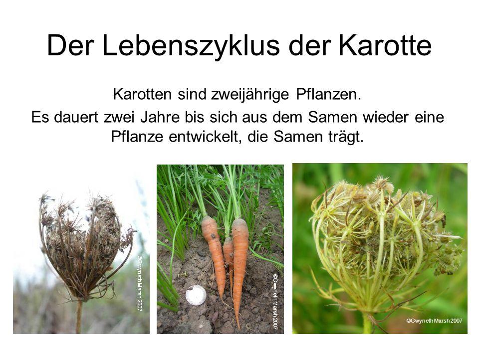 Der Lebenszyklus der Karotte