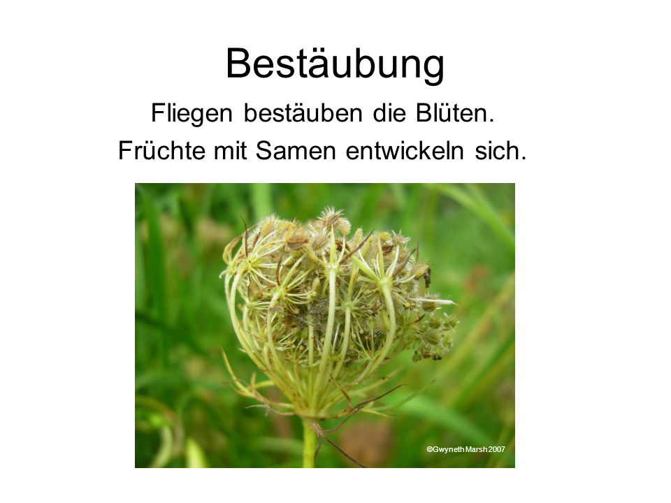 Bestäubung Fliegen bestäuben die Blüten.
