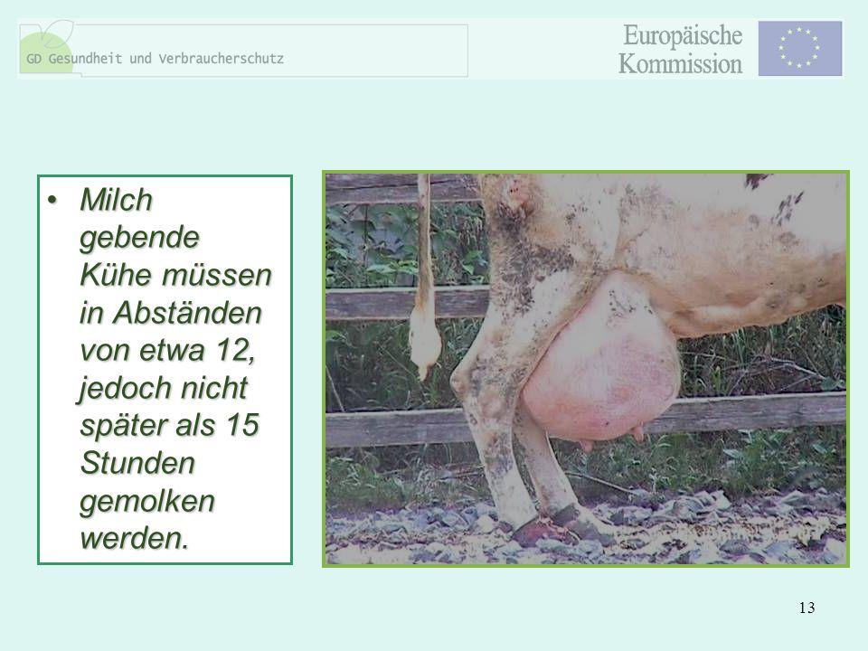 Milch gebende Kühe müssen in Abständen von etwa 12, jedoch nicht später als 15 Stunden gemolken werden.