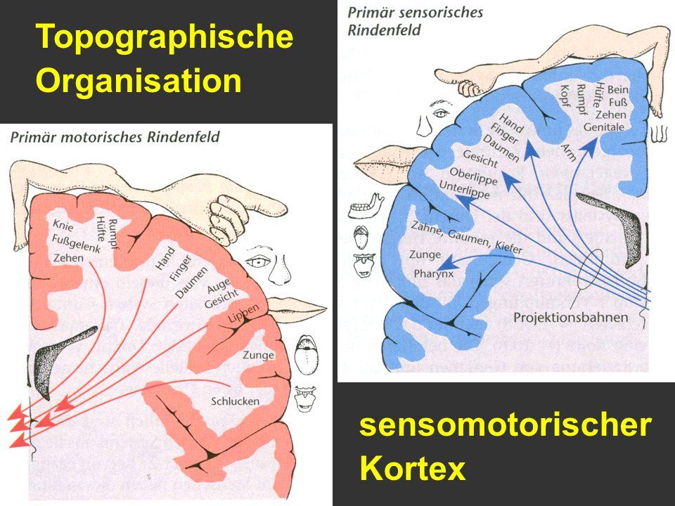 Topographische Organisation sensomotorischer Kortex