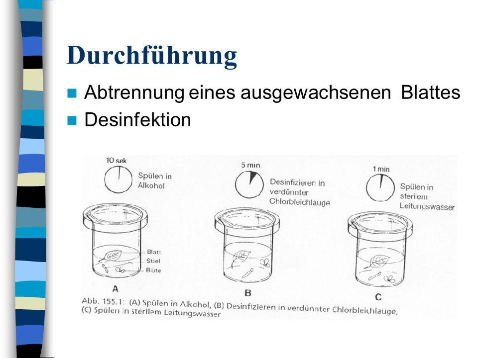 Durchführung Abtrennung eines ausgewachsenen Blattes Desinfektion