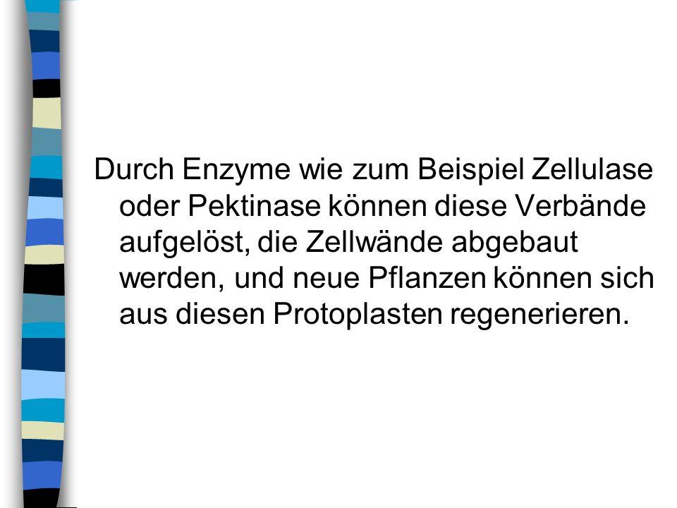 Durch Enzyme wie zum Beispiel Zellulase oder Pektinase können diese Verbände aufgelöst, die Zellwände abgebaut werden, und neue Pflanzen können sich aus diesen Protoplasten regenerieren.