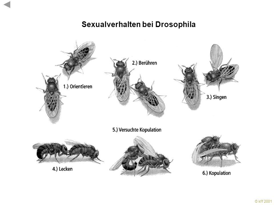 Sexualverhalten bei Drosophila