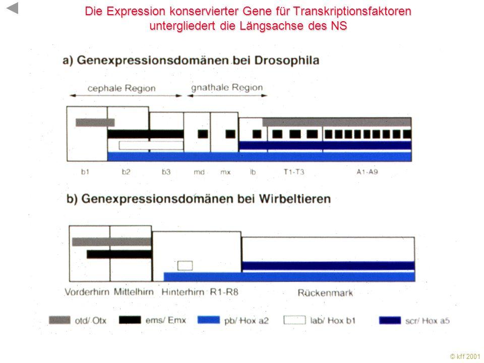 Die Expression konservierter Gene für Transkriptionsfaktoren untergliedert die Längsachse des NS