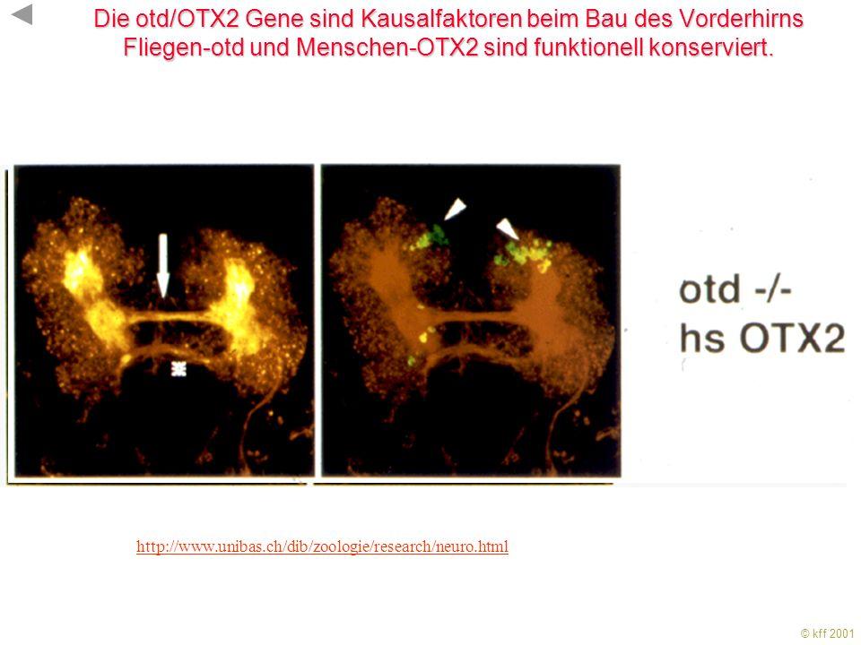 Die otd/OTX2 Gene sind Kausalfaktoren beim Bau des Vorderhirns Fliegen-otd und Menschen-OTX2 sind funktionell konserviert.