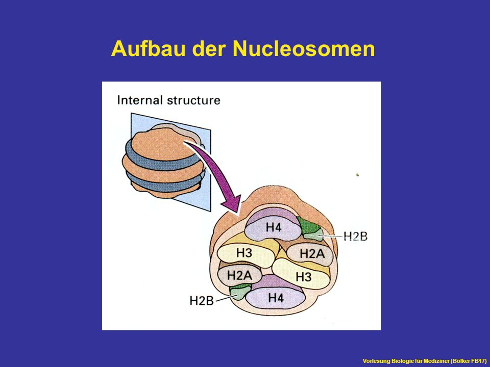 Aufbau der Nucleosomen