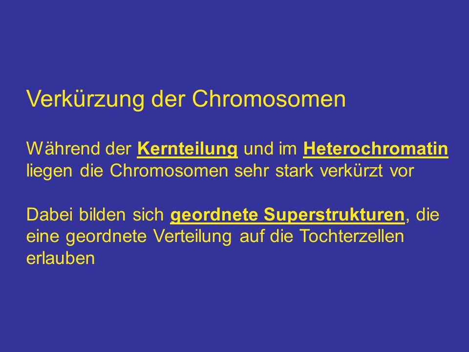 Verkürzung der Chromosomen