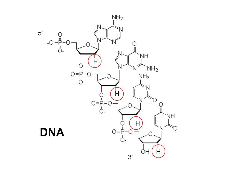 5' DNA H 3'
