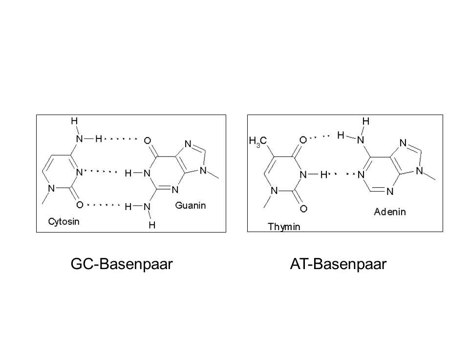 GC-Basenpaar AT-Basenpaar