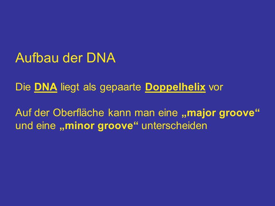 Aufbau der DNA Die DNA liegt als gepaarte Doppelhelix vor