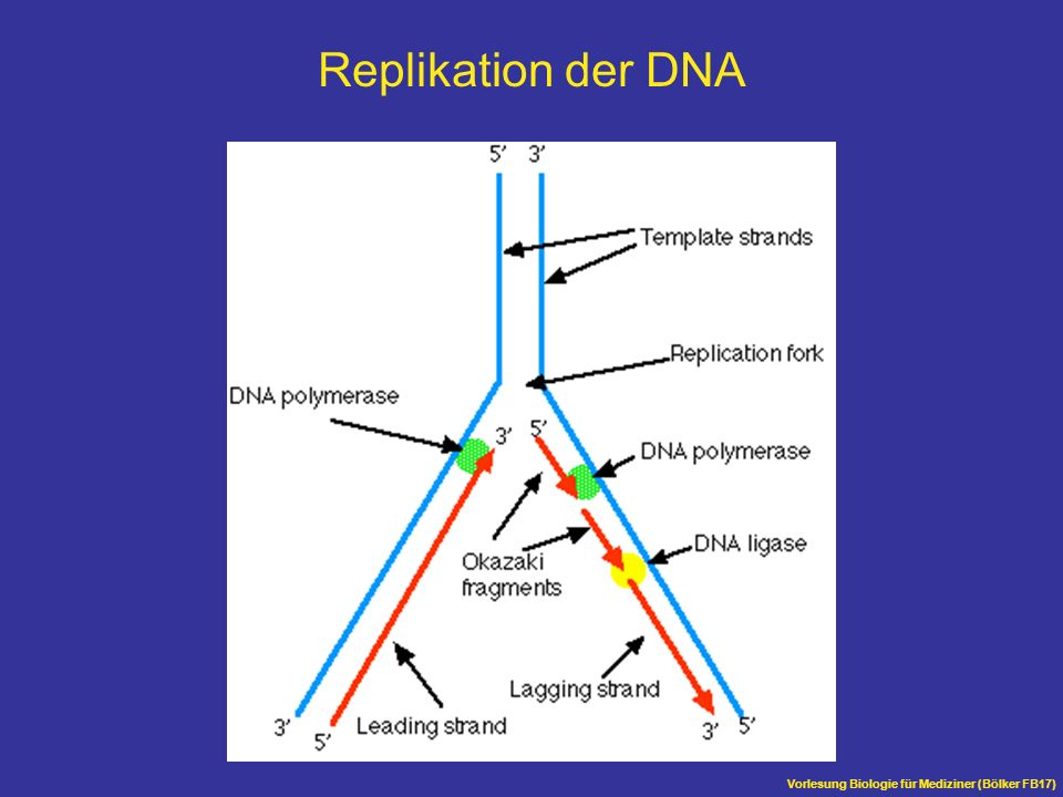 Replikation der DNA Vorlesung Biologie für Mediziner (Bölker FB17)