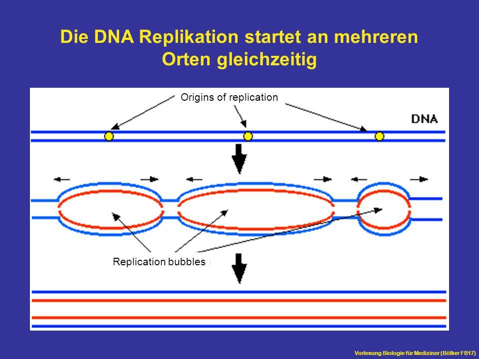Die DNA Replikation startet an mehreren