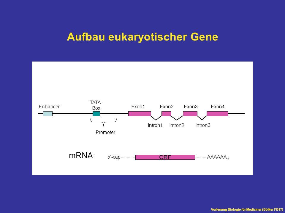 Aufbau eukaryotischer Gene