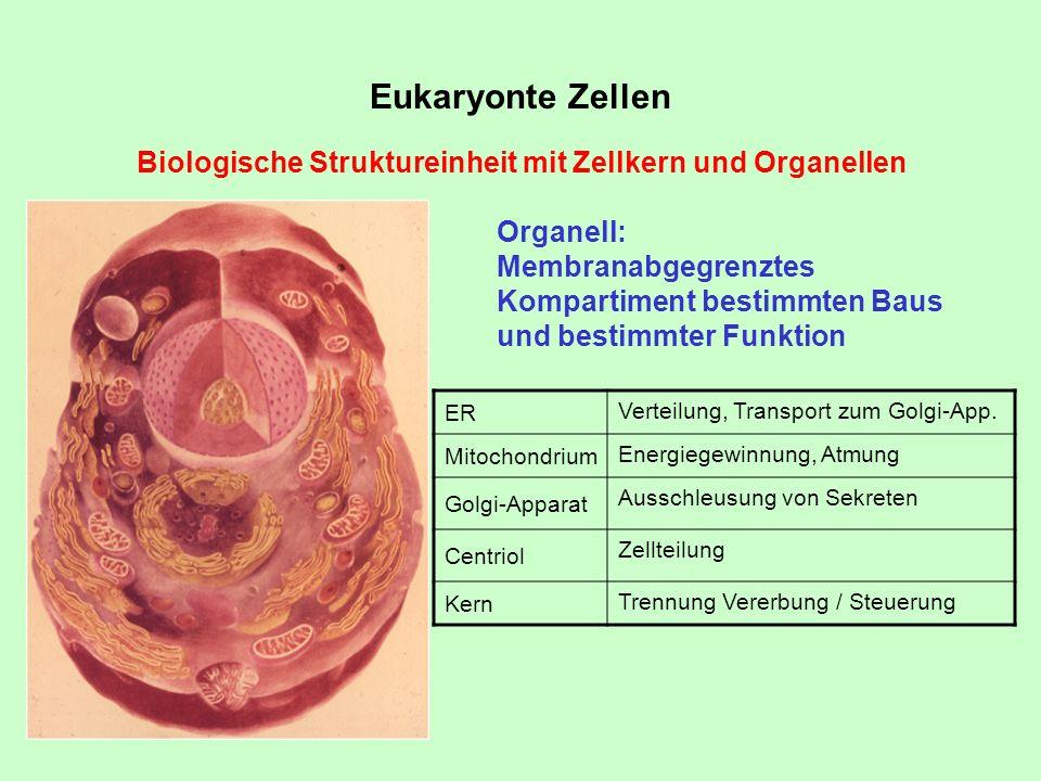 Eukaryonte ZellenBiologische Struktureinheit mit Zellkern und Organellen. Organell: