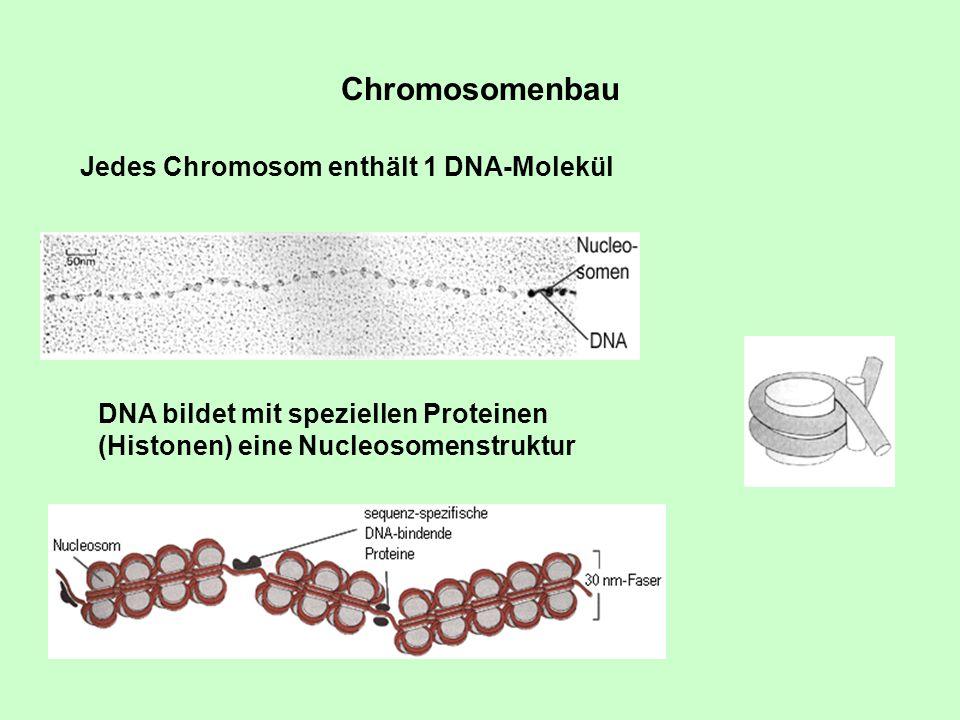 Chromosomenbau Jedes Chromosom enthält 1 DNA-Molekül