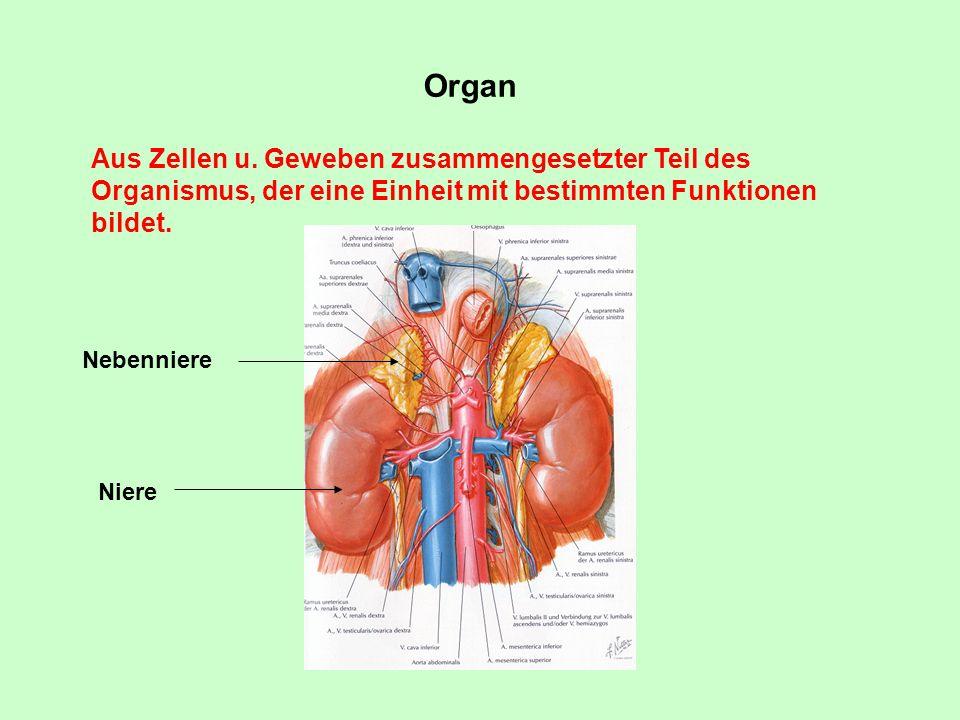 Organ Aus Zellen u. Geweben zusammengesetzter Teil des Organismus, der eine Einheit mit bestimmten Funktionen bildet.