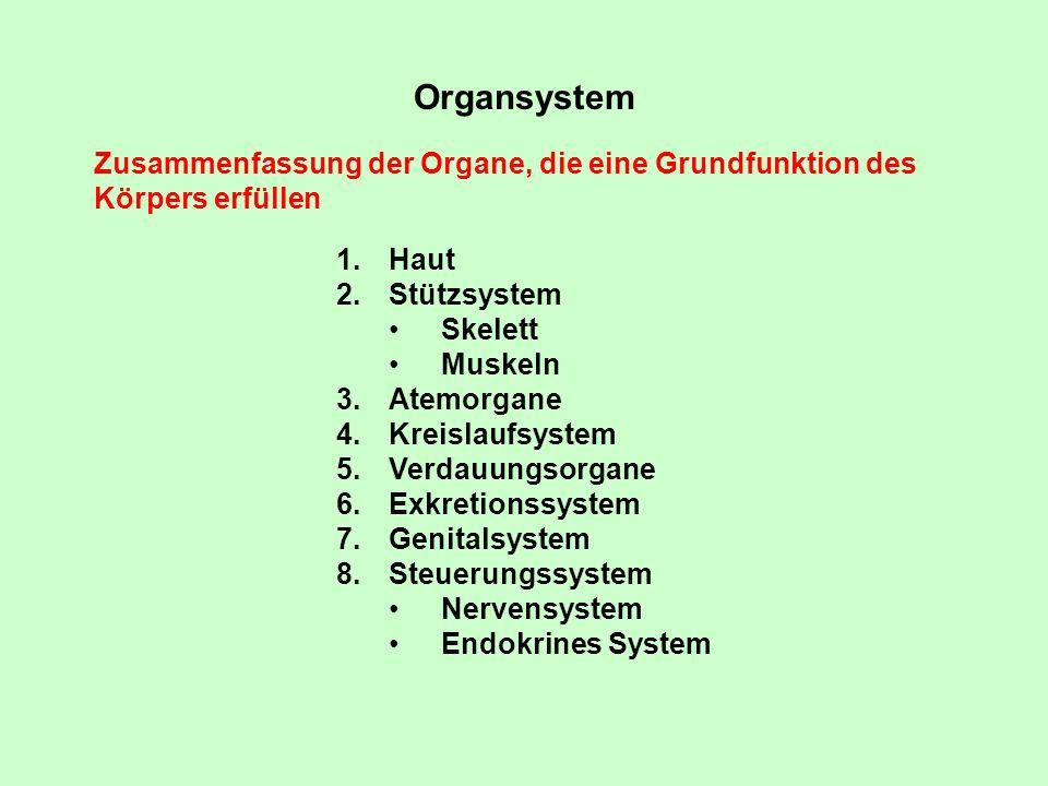 Organsystem Zusammenfassung der Organe, die eine Grundfunktion des Körpers erfüllen. Haut. Stützsystem.