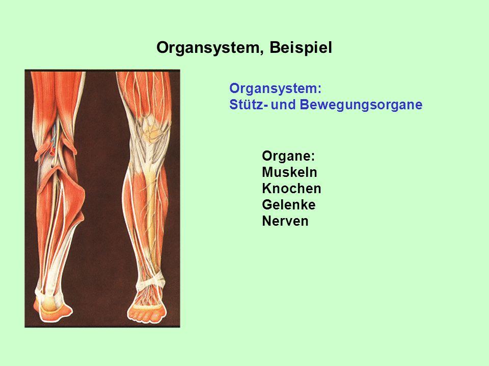 Organsystem, Beispiel Organsystem: Stütz- und Bewegungsorgane Organe: