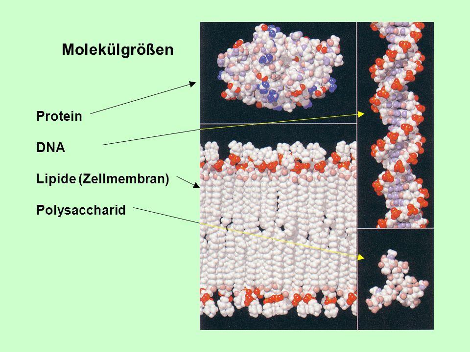 Molekülgrößen Protein DNA Lipide (Zellmembran) Polysaccharid