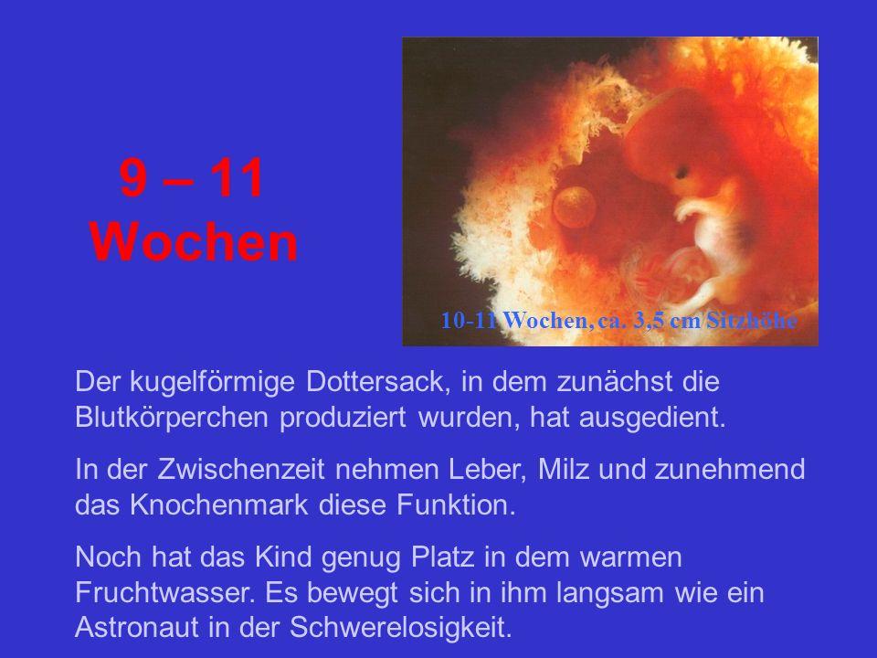 9 – 11 Wochen 10-11 Wochen, ca. 3,5 cm Sitzhöhe. Der kugelförmige Dottersack, in dem zunächst die Blutkörperchen produziert wurden, hat ausgedient.