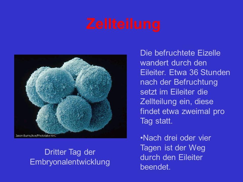 Dritter Tag der Embryonalentwicklung