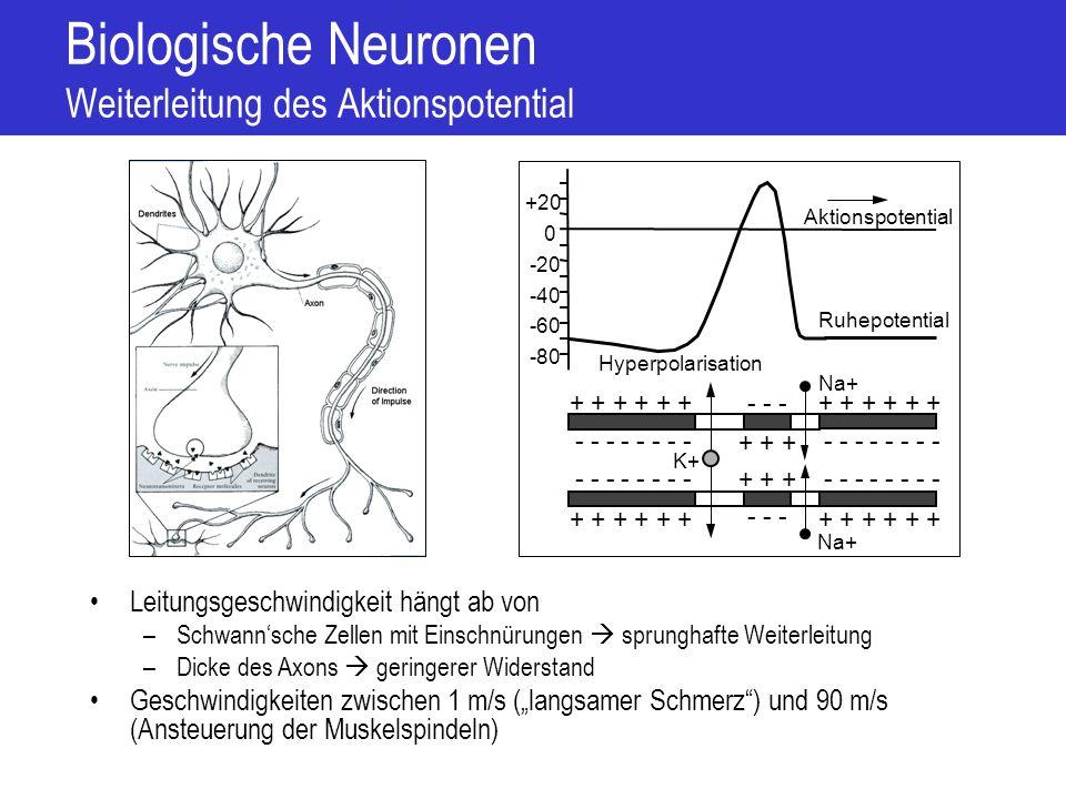 Biologische Neuronen Weiterleitung des Aktionspotential